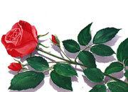 decadry Soggetto. rose. carta 95gr. personalizzata a tema per stampanti laser & inkjet. formato a4 (21x29,7 cm), 95gr x mq, rose.